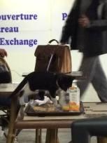 casablanca kitten